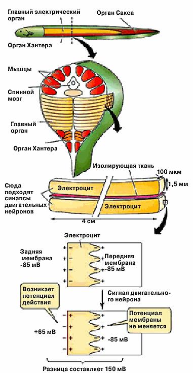 Электрические органы угря