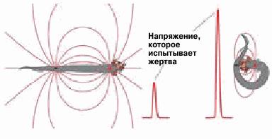 Силовые линии электрического поля угря