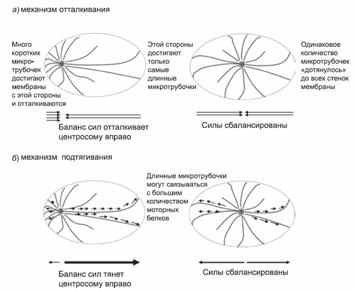 центросома находит центр клетки с помощью микротрубочек