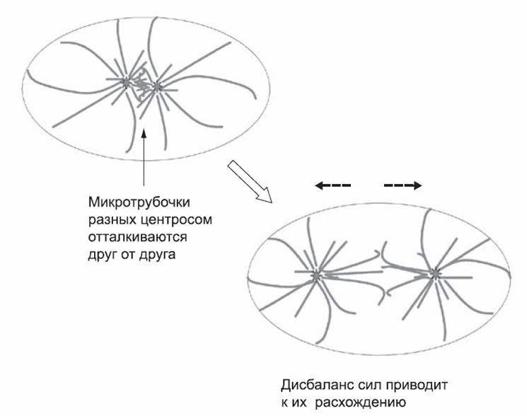 две центросомы, взаимодействие микротрубочек приводит к их расхождению