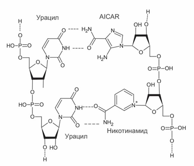 Структуры возможных дополнительных нуклеотидов древних РНК