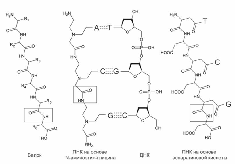 Структура пептидно-нуклеиновых кислот (ПНК) в сравнении с ДНК и белками