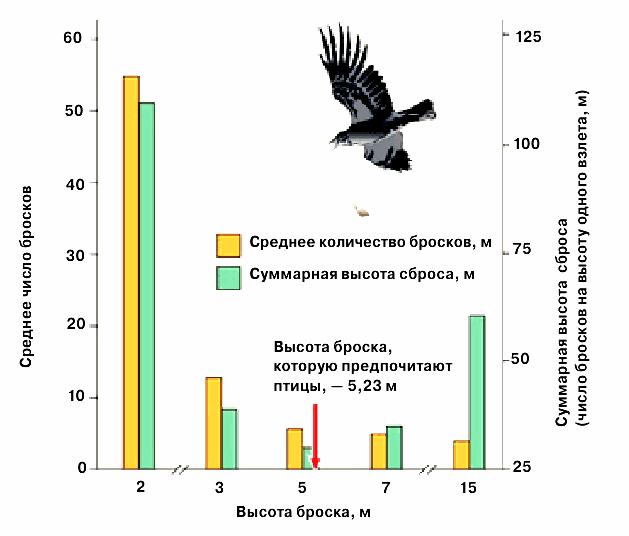 Врановые Corvus caurinus бросают раковины